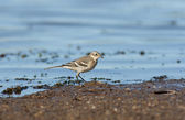 The White Wagtail — Stock Photo