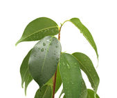Ficus benjamina with waterdrops, isolated — Stock Photo