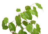 Ficus benjamina, isolated — Stock Photo