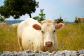 White cow — Stock Photo
