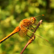The big dragonfly on a branch — Stock Photo #5971120