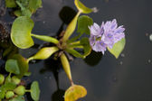 Beautiful Water Flowers. Eichornia crassipes. — Stock Photo
