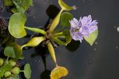 Flores de água bonita. eichornia crassipes. — Foto Stock