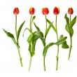 Tulip flowers isolated on white — Stock Photo #5391004