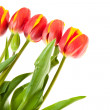 Tulip flowers isolated on white — Stock Photo