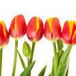 Tulip flowers isolated on white — Stock Photo #5391009