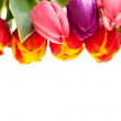 Tulip flowers isolated on white — Stock Photo #5391016