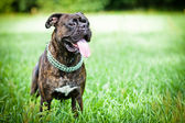 Brindle boxer dog standing in grass — Stock Photo