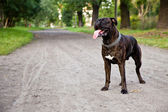 Boxer dog on a dirt road in park — Stock Photo