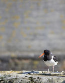 Oystercatcher — Foto Stock