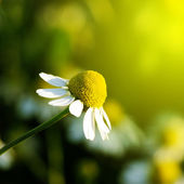 Daisy stretches toward the sun. — Stock Photo