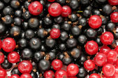 Red currant and black currant — Stock Photo