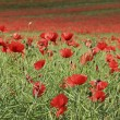 Poppy flower field tring hertfordshire - Stock Photo
