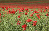 Poppy flower field tring hertfordshire — Stock Photo