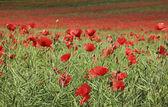 Vallmo blomma fältet tring hertfordshire — Stockfoto