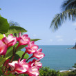 Frangipani tropical flowers koh samui — Stock Photo