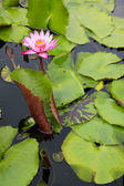 Water lilly pond pattaya thailand — Stock Photo
