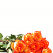 Roses on white — Stock Photo #5678394