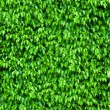 Ficus bush background — Stock Photo