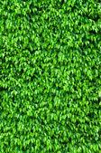 Ficus bush background — Stock Photo