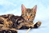 Tabby kitten playing — Stock Photo