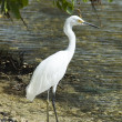 Wild egret - Stockfoto