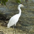 Wild egret -  