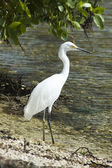 Wild egret — Stock Photo