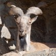 wild goat — Stock Photo