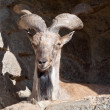Wild goat - Stock Photo