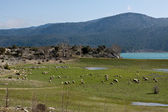 Landscape with sheeps. — Stock Photo