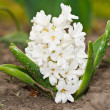 Blooming hyacinth — Stock Photo