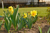 Yellow daffodil — Stock Photo