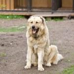 Central Asian Shepherd Dog — Stock Photo