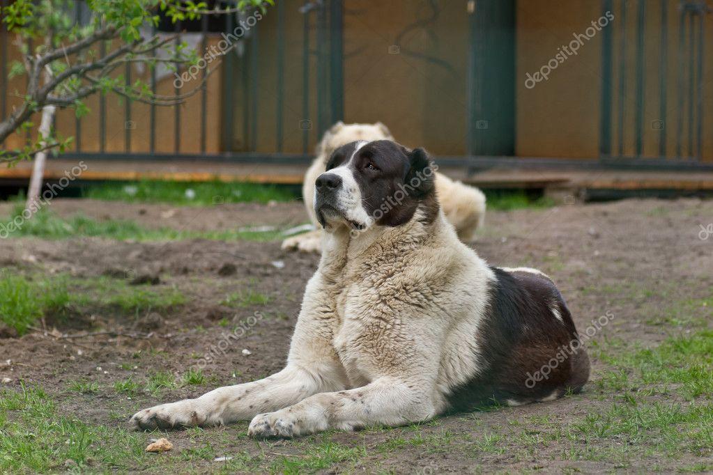 Central Asian Shepherd Dog Breeders