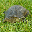 Turtle — Stock Photo #5833987
