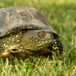 Turtle — Stock Photo #5837067