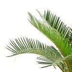 Sago palm — Stock Photo #5851593