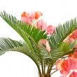 Sago palm and Bougainvillea — Stock Photo