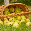 Pears in the basket — Stock Photo