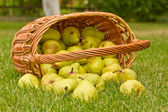 Pears in the basket — Stock fotografie