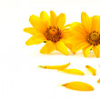 Petals of yellow flowers — Stock Photo