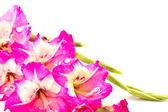 Magenta summer flowers — Stock Photo
