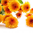 Chrysanthemums — Stock Photo