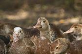 Domestic ducks — Stock Photo