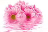 Chrysanthemums in the reflection — Stock Photo