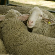 Stock Photo: Sheeps at livestock exhibition