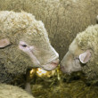 Sheeps at livestock exhibition — Stock Photo