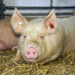 Pig at livestock exhibition - Stock Photo