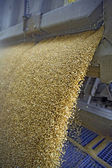 Dumping of wheat grains — Stock Photo